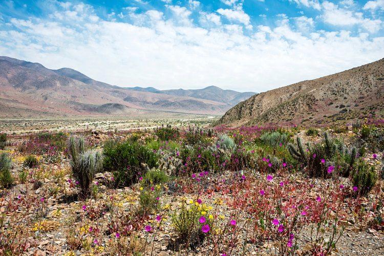 flores do deserto do Atacama