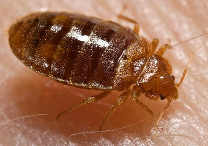 Bed_bug,_Cimex_lectularius