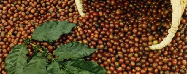 Cesta com grãos de café vermelhos