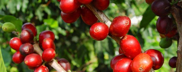 Frutos do café