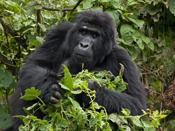 Gorila das montanhas, Uganda