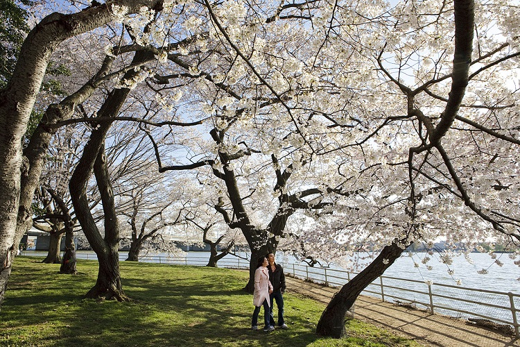 Washington, DC celebra os 90 anos do Festival Nacional da Flor de Cerejeira