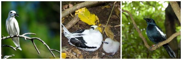 Pássaros Seychelles