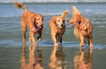 cachorro, praia, pet
