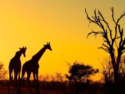 girafas1