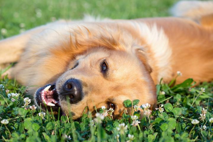 Hipertermia e câncer de pele são os maiores riscos para os cães no verão