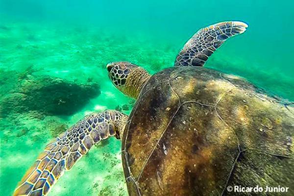 tartaruga-em-fernando-de-noronha_640
